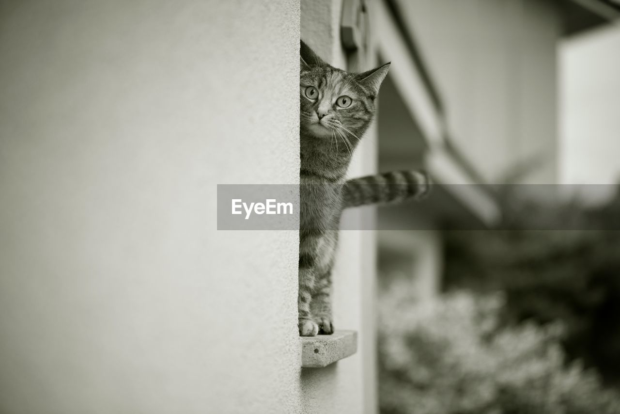 domestic cat, one animal, animal themes, domestic animals, pets, feline, cat, mammal, focus on foreground, no people, day, portrait, looking at camera, outdoors, close-up