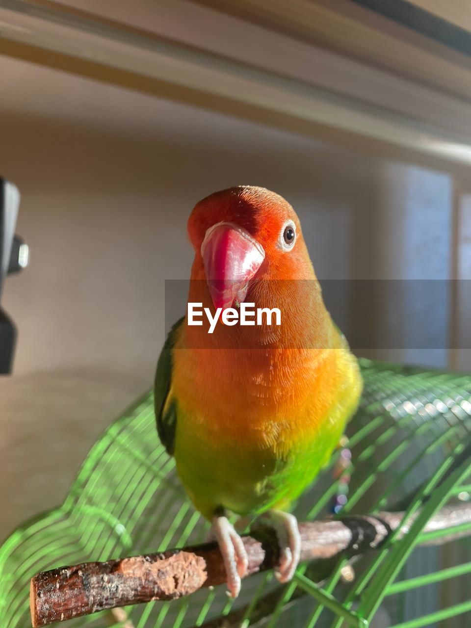 Marti Animal Themes Animal Vertebrate Bird One Animal Animal Wildlife Animals In The Wild Parrot Close-up Perching Parakeet No People Focus On Foreground Indoors  Beak Cage Domestic Pets Animals In Captivity Front View