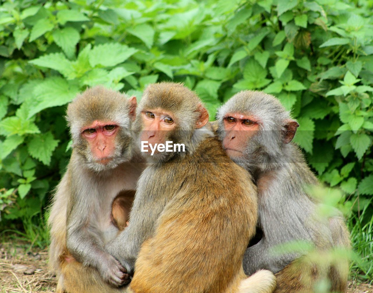 primate, group of animals, mammal, animals in the wild, animal wildlife, togetherness, day, young animal, vertebrate, no people, sitting, focus on foreground, animal family, nature, portrait, looking at camera, outdoors