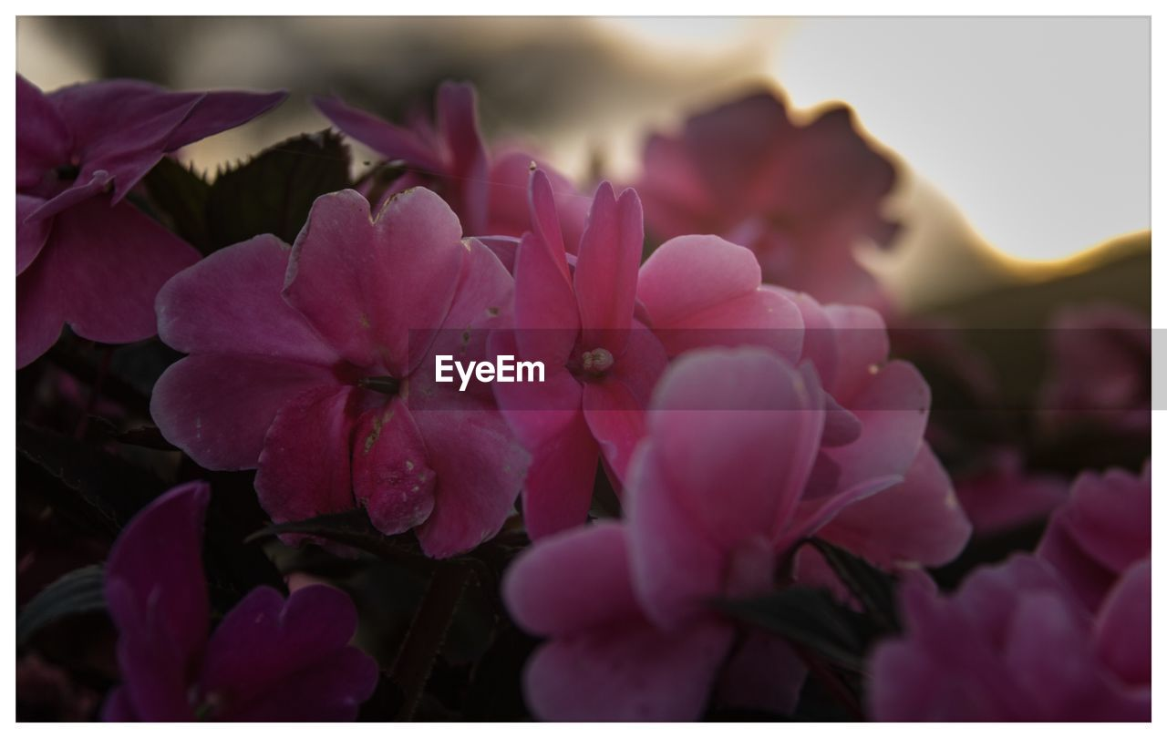flower, petal, beauty in nature, nature, pink color, fragility, growth, flower head, outdoors, freshness, no people, plant, close-up, day, blooming