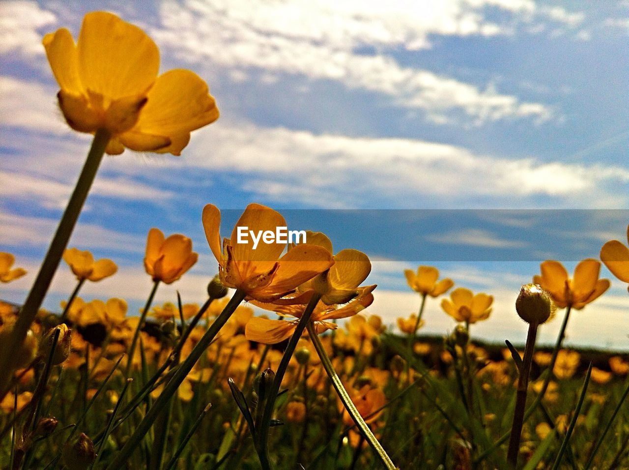 Yellow flowers blooming on field against sky