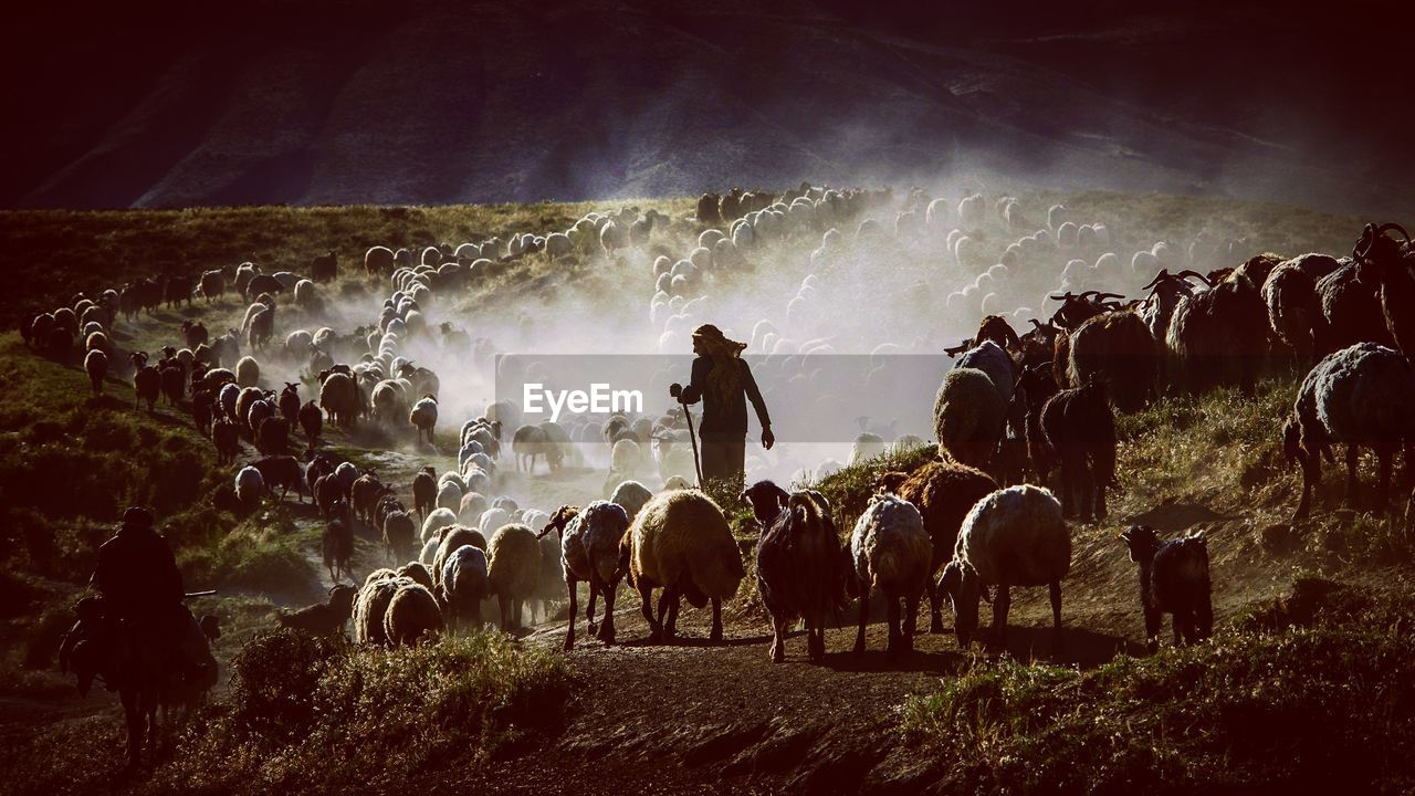 Shepherd With Flock Of Sheep On Field