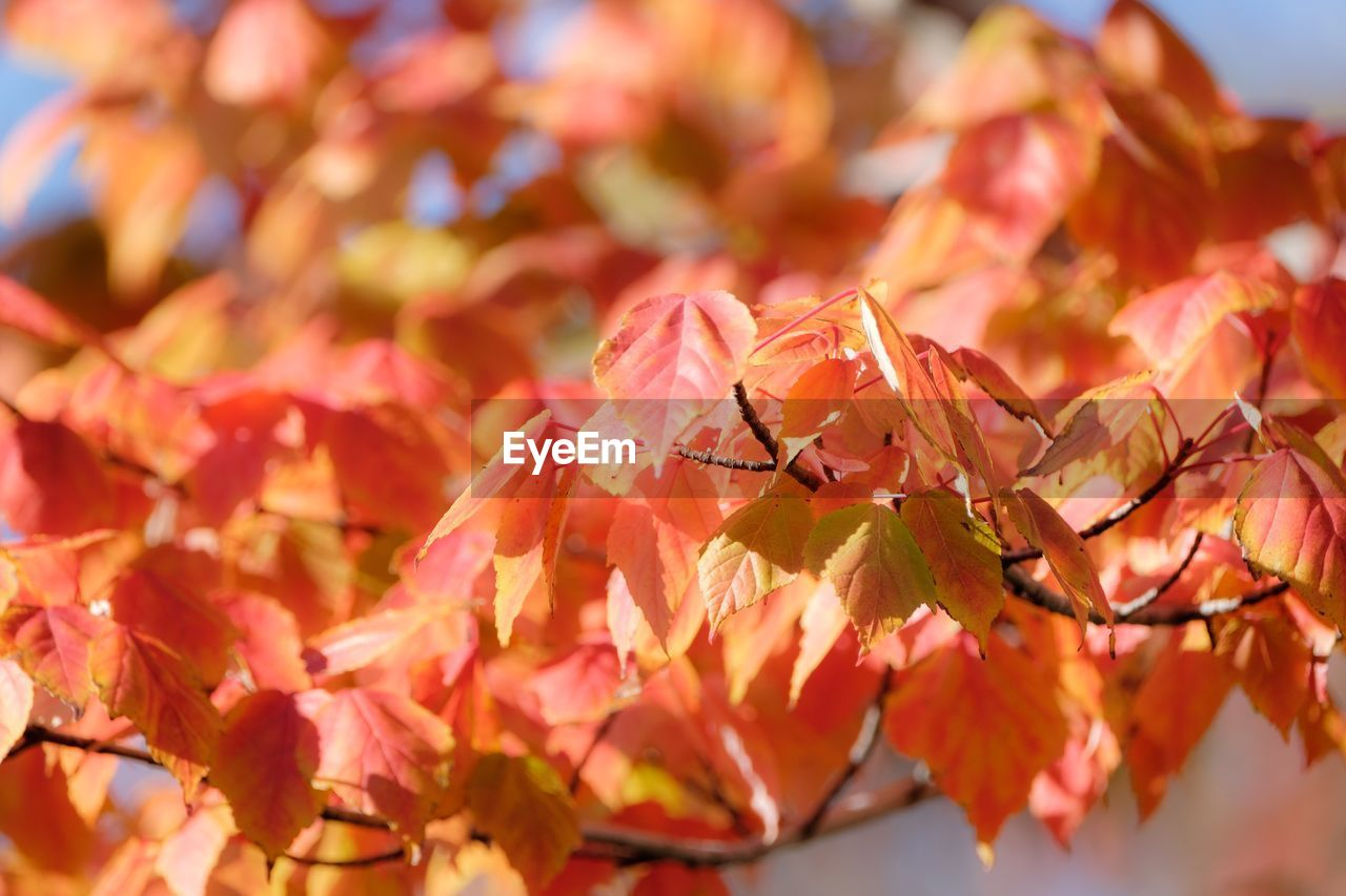 beauty in nature, plant, close-up, plant part, leaf, flower, flowering plant, autumn, change, nature, day, vulnerability, fragility, no people, freshness, orange color, tree, growth, selective focus, red, outdoors, leaves, flower head, natural condition, maple leaf, fall, autumn collection