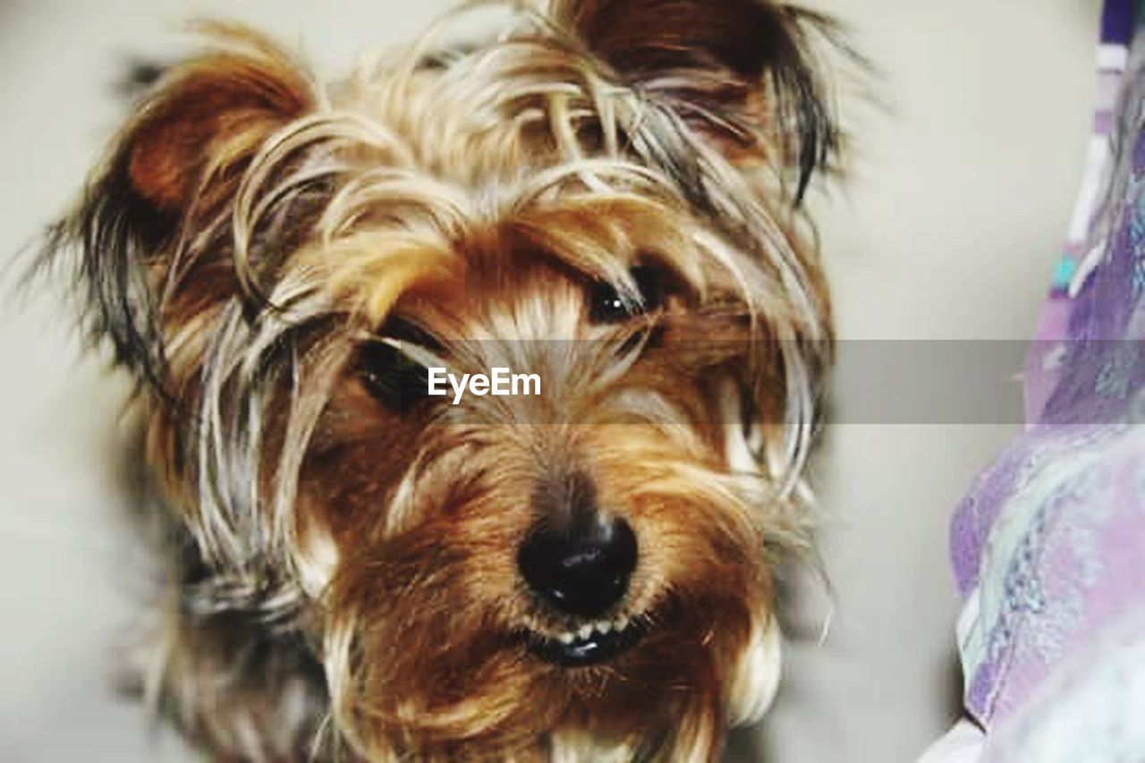 dog, pets, domestic animals, one animal, close-up, focus on foreground, animal themes, indoors, looking at camera, no people, portrait, mammal, day