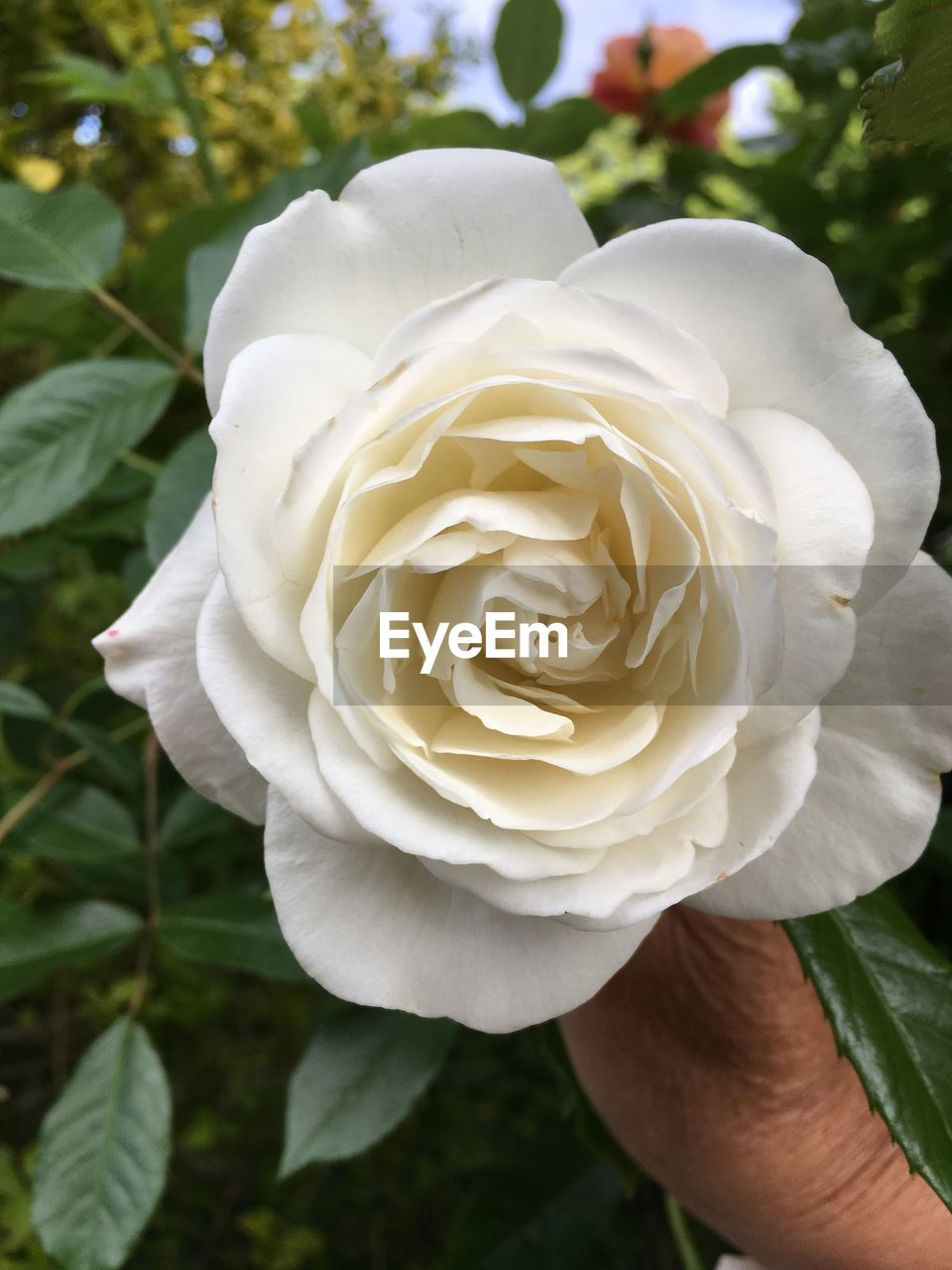 plant, beauty in nature, vulnerability, fragility, freshness, inflorescence, flower, flowering plant, petal, flower head, white color, rose, close-up, rose - flower, growth, day, nature, focus on foreground, one person, human body part, finger
