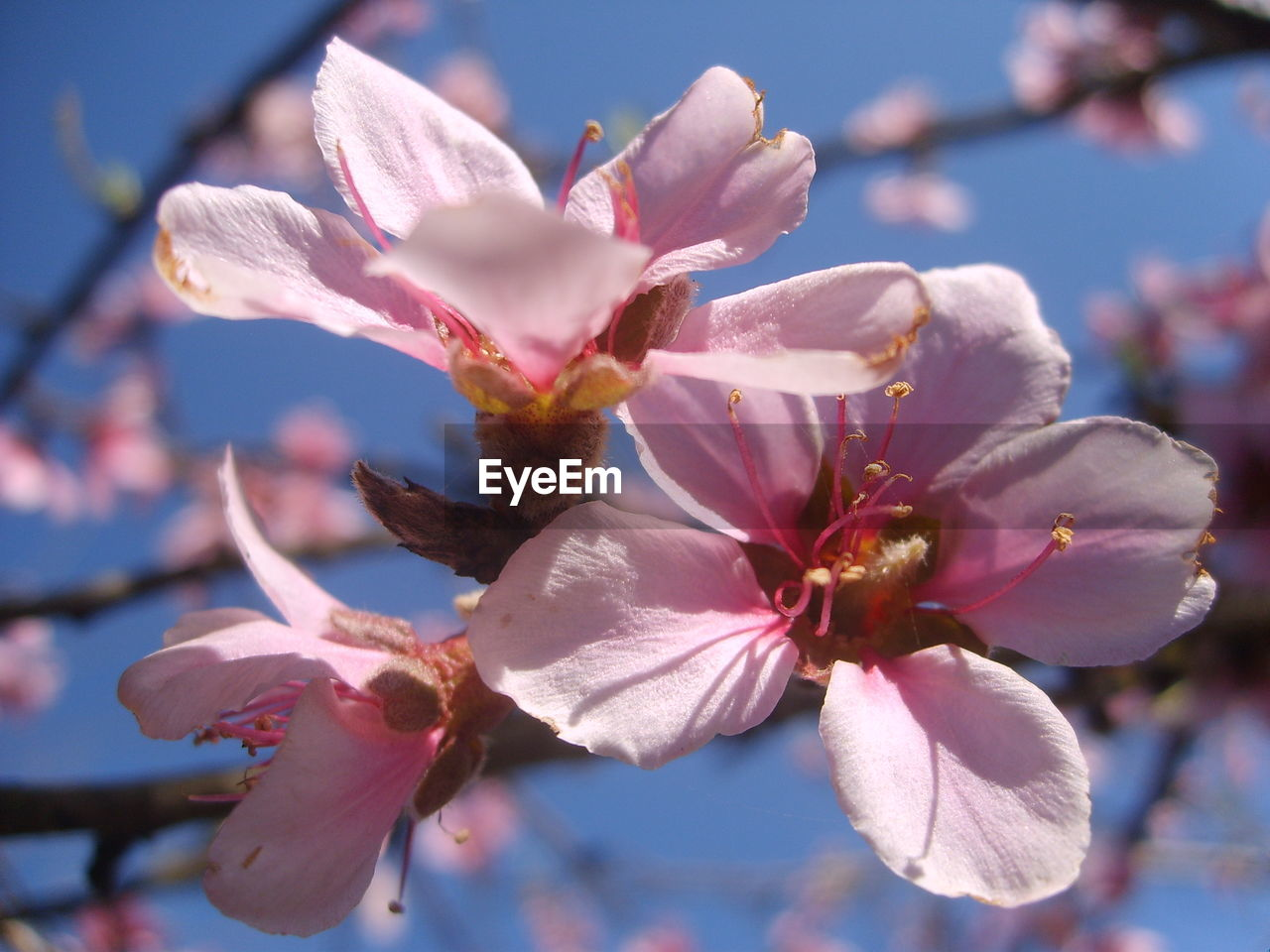 flower, beauty in nature, fragility, petal, nature, flower head, growth, freshness, springtime, day, magnolia, stamen, outdoors, pink color, close-up, blossom, pollen, blooming, no people, branch, tree, sky