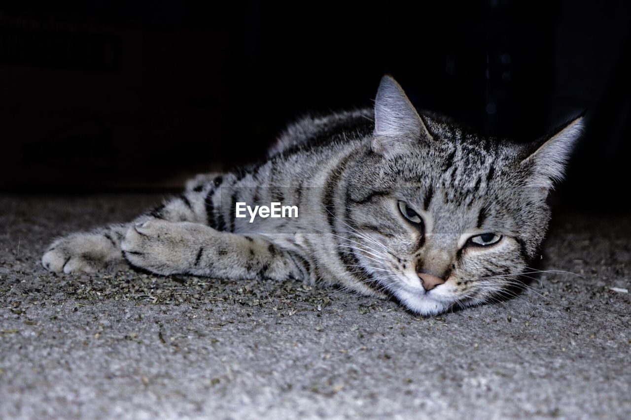 cat, feline, animal, animal themes, mammal, pets, domestic, one animal, domestic cat, domestic animals, relaxation, lying down, vertebrate, no people, portrait, whisker, resting, close-up, looking at camera, selective focus, tabby, animal head