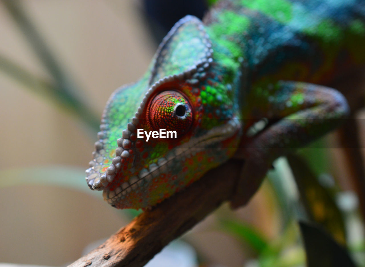 one animal, animal themes, animal wildlife, animals in the wild, close-up, animal, reptile, green color, focus on foreground, vertebrate, lizard, day, no people, animal body part, nature, selective focus, outdoors, branch, plant, natural pattern, animal head, animal eye, animal scale