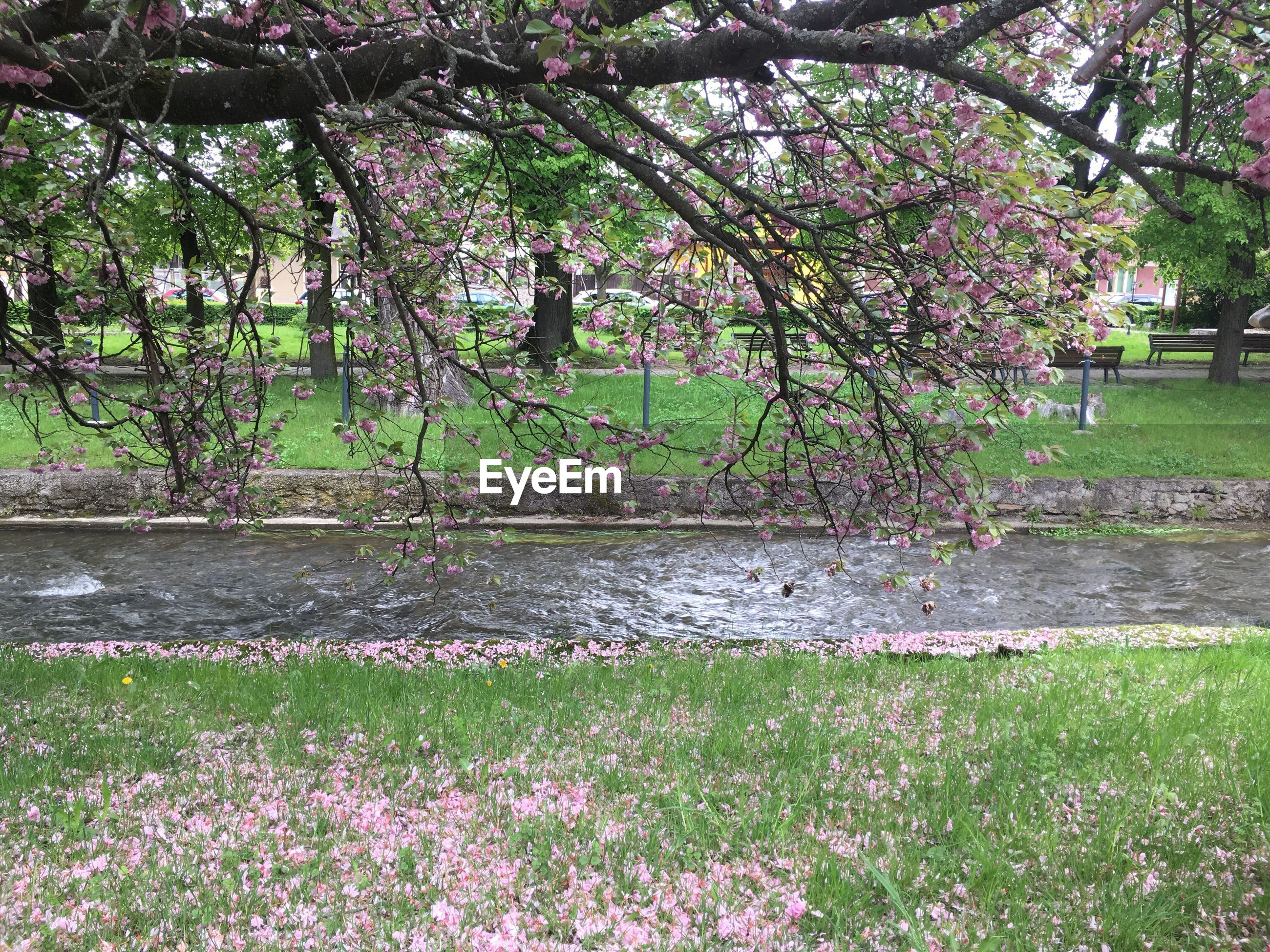 plant, flower, flowering plant, growth, beauty in nature, tree, water, nature, park, springtime, blossom, freshness, grass, pink color, day, no people, park - man made space, tranquility, fragility, outdoors, cherry blossom, cherry tree, spring