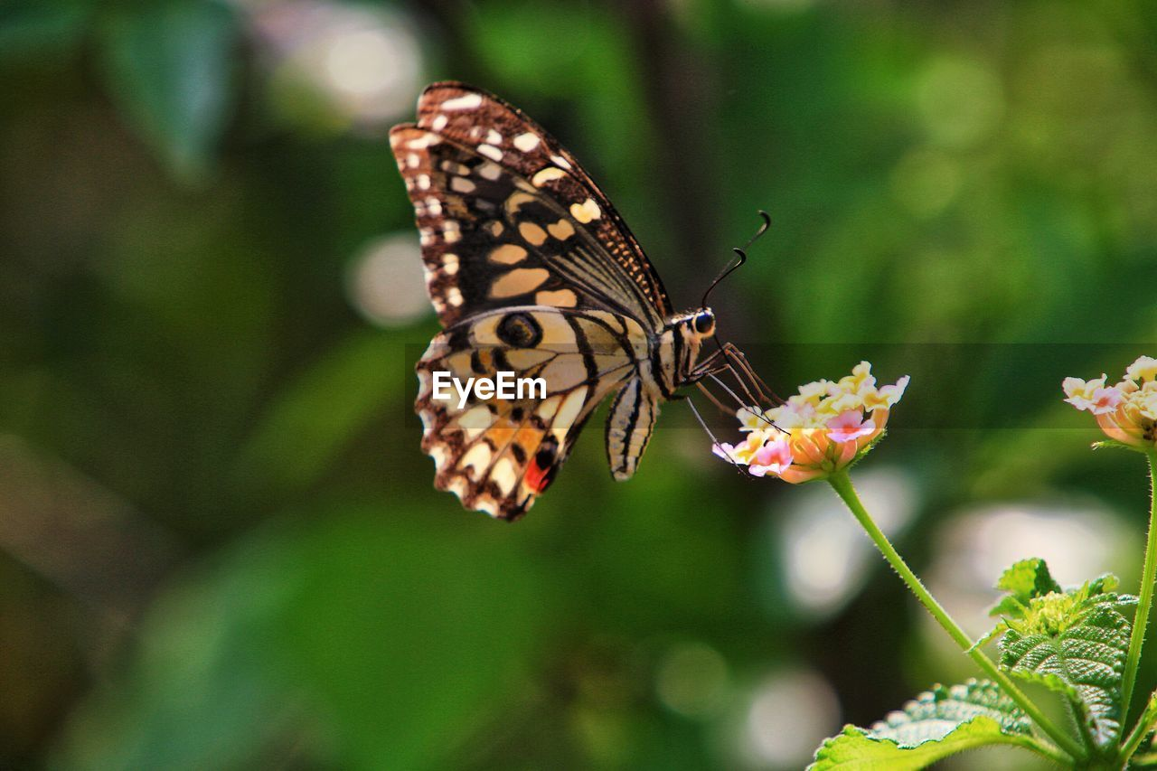 animal wildlife, invertebrate, insect, animals in the wild, animal, animal themes, animal wing, flower, beauty in nature, one animal, butterfly - insect, plant, flowering plant, vulnerability, fragility, growth, close-up, freshness, nature, petal, flower head, no people, pollination, outdoors, butterfly, lantana