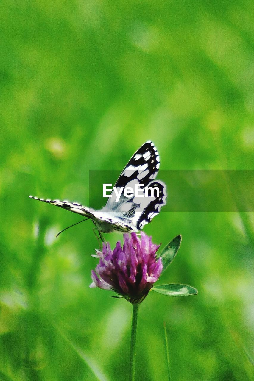 flower, flowering plant, beauty in nature, animal themes, animal, one animal, animal wildlife, plant, invertebrate, insect, vulnerability, animals in the wild, fragility, animal wing, freshness, petal, butterfly - insect, growth, flower head, close-up, no people, pollination, outdoors, butterfly, purple