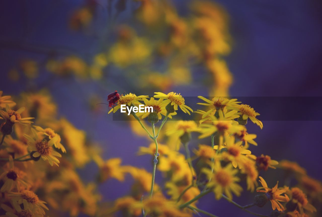 flowering plant, flower, fragility, beauty in nature, vulnerability, plant, growth, freshness, yellow, flower head, petal, close-up, animals in the wild, nature, focus on foreground, bee, animal wildlife, selective focus, no people, inflorescence, pollen, pollination