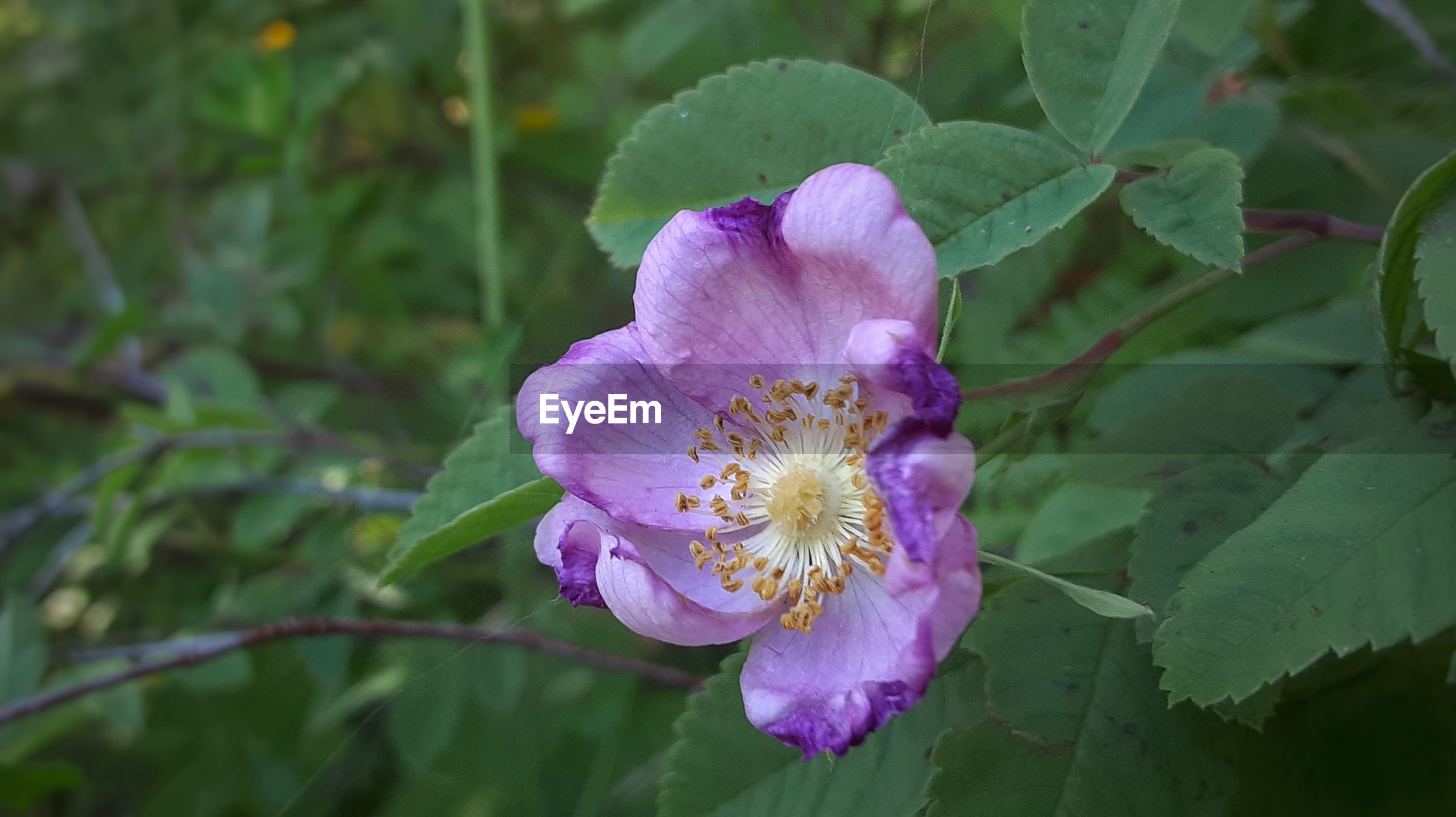 CLOSE-UP OF PURPLE ROSE FLOWER