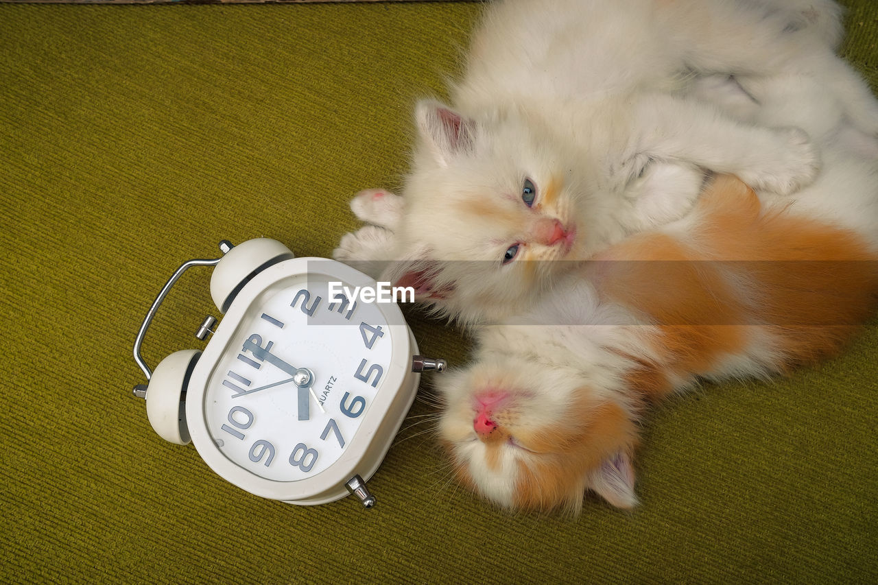 High angle view of kittens by clock on floor