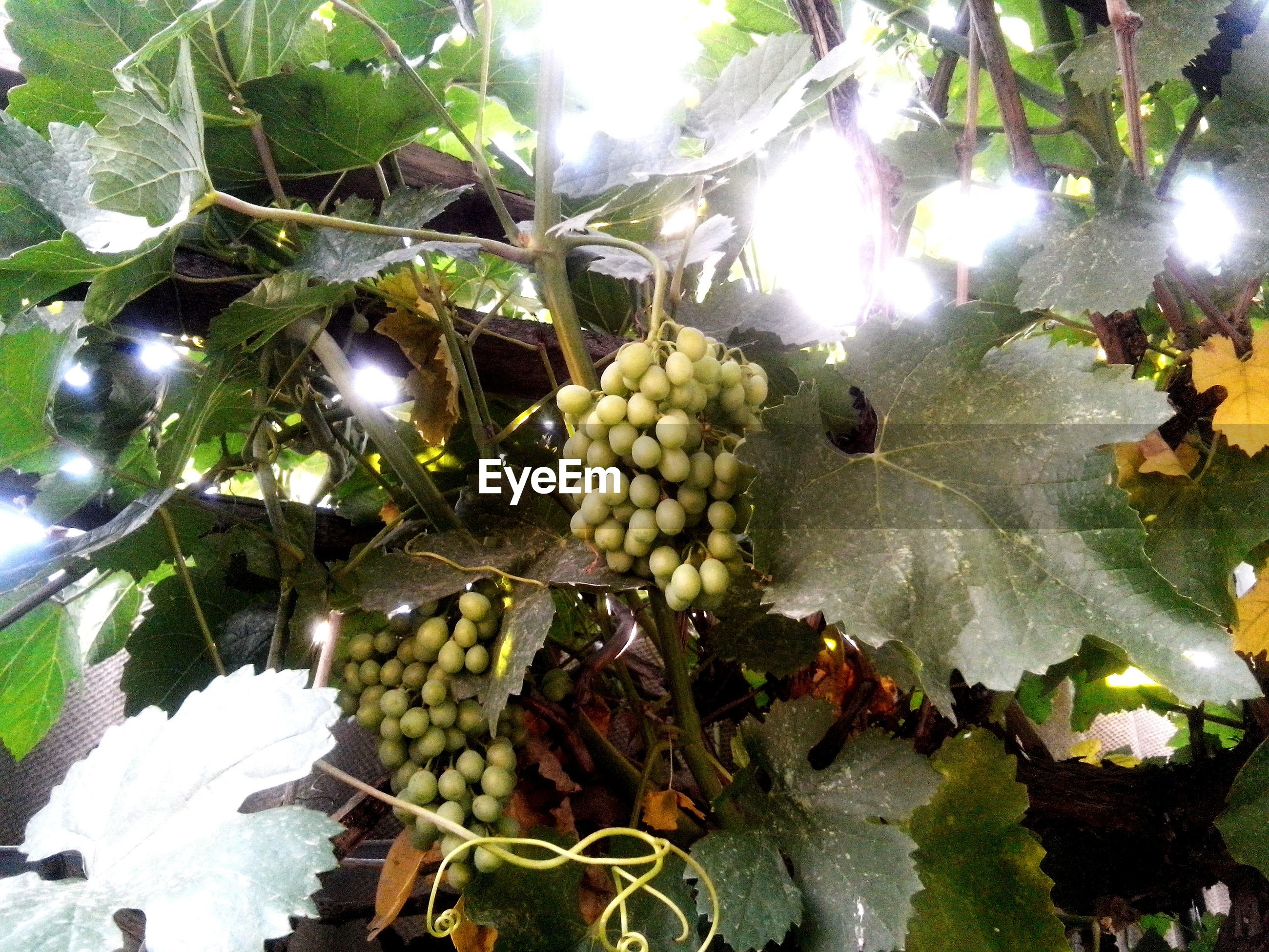fruit, food and drink, food, healthy eating, tree, growth, leaf, freshness, agriculture, grape, sunlight, abundance, hanging, green color, close-up, vineyard, branch, low angle view, nature, bunch