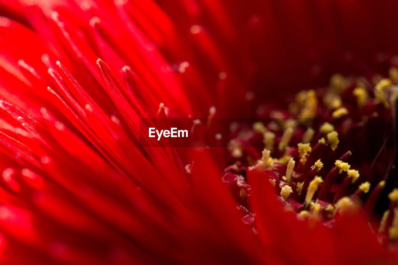 Full Frame Shot Of Red Gerbera Daisy