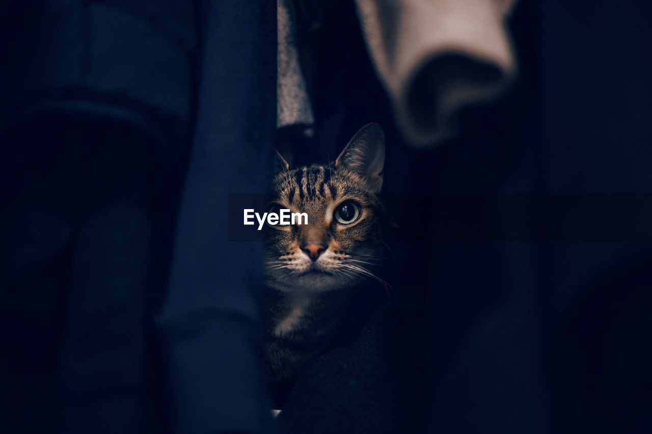 Close-up portrait of tabby cat hiding in closet among clothes. scared domestic animal cat pet
