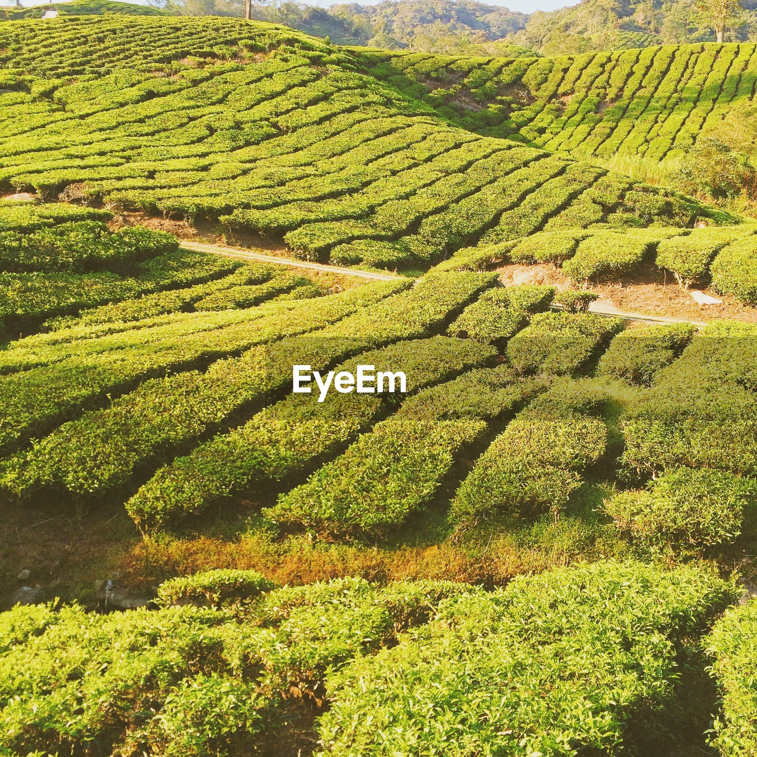 High angle view of tea plantation