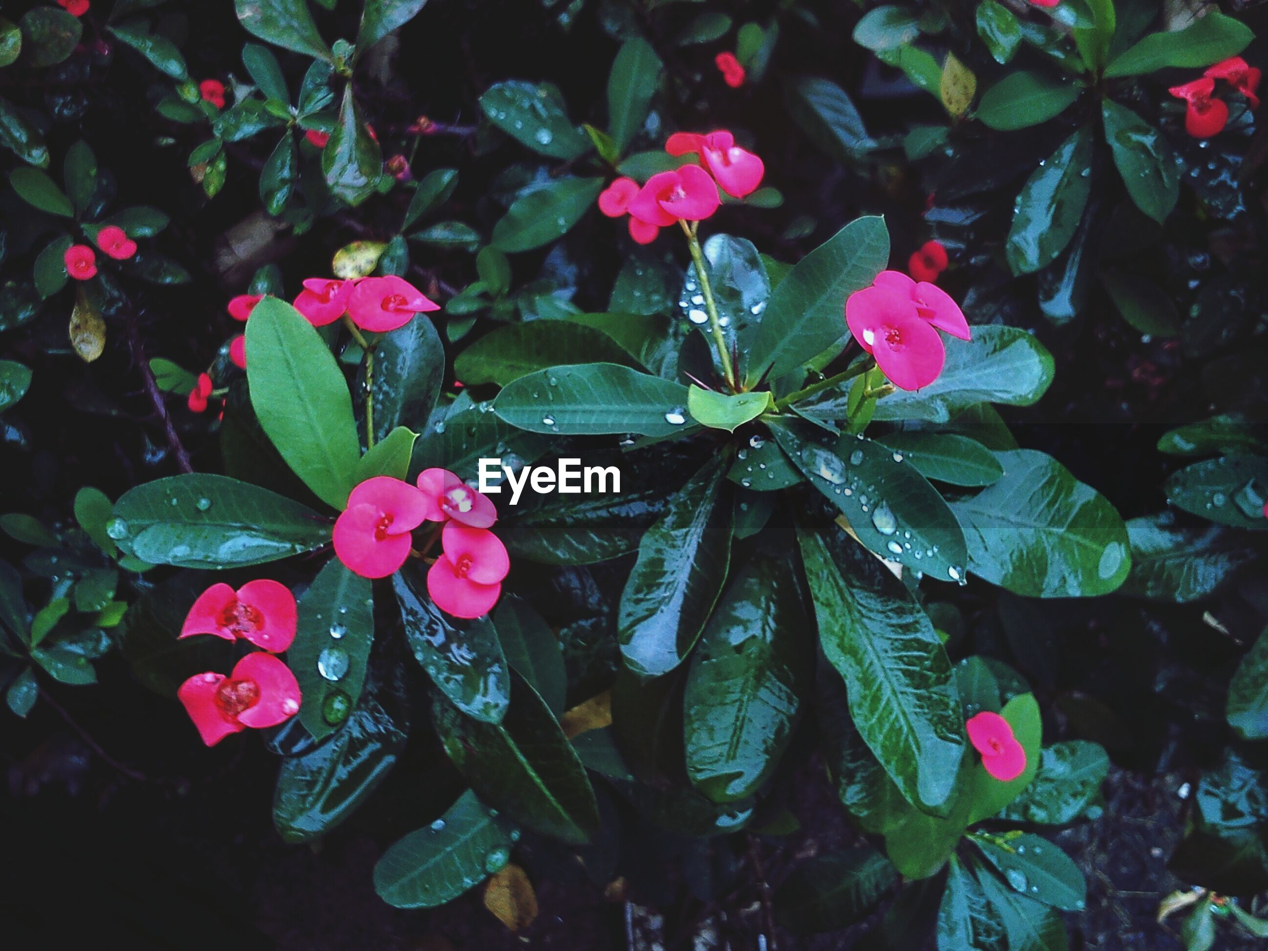 flower, freshness, petal, fragility, growth, pink color, beauty in nature, leaf, flower head, blooming, nature, plant, close-up, water, in bloom, drop, wet, high angle view, outdoors, day