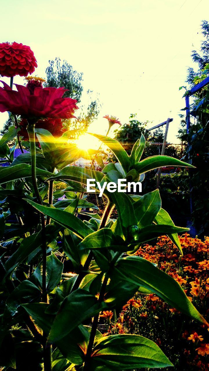 plant, growth, beauty in nature, flowering plant, sky, flower, sunlight, nature, plant part, leaf, fragility, close-up, vulnerability, freshness, sunbeam, sun, no people, day, petal, flower head, lens flare, outdoors
