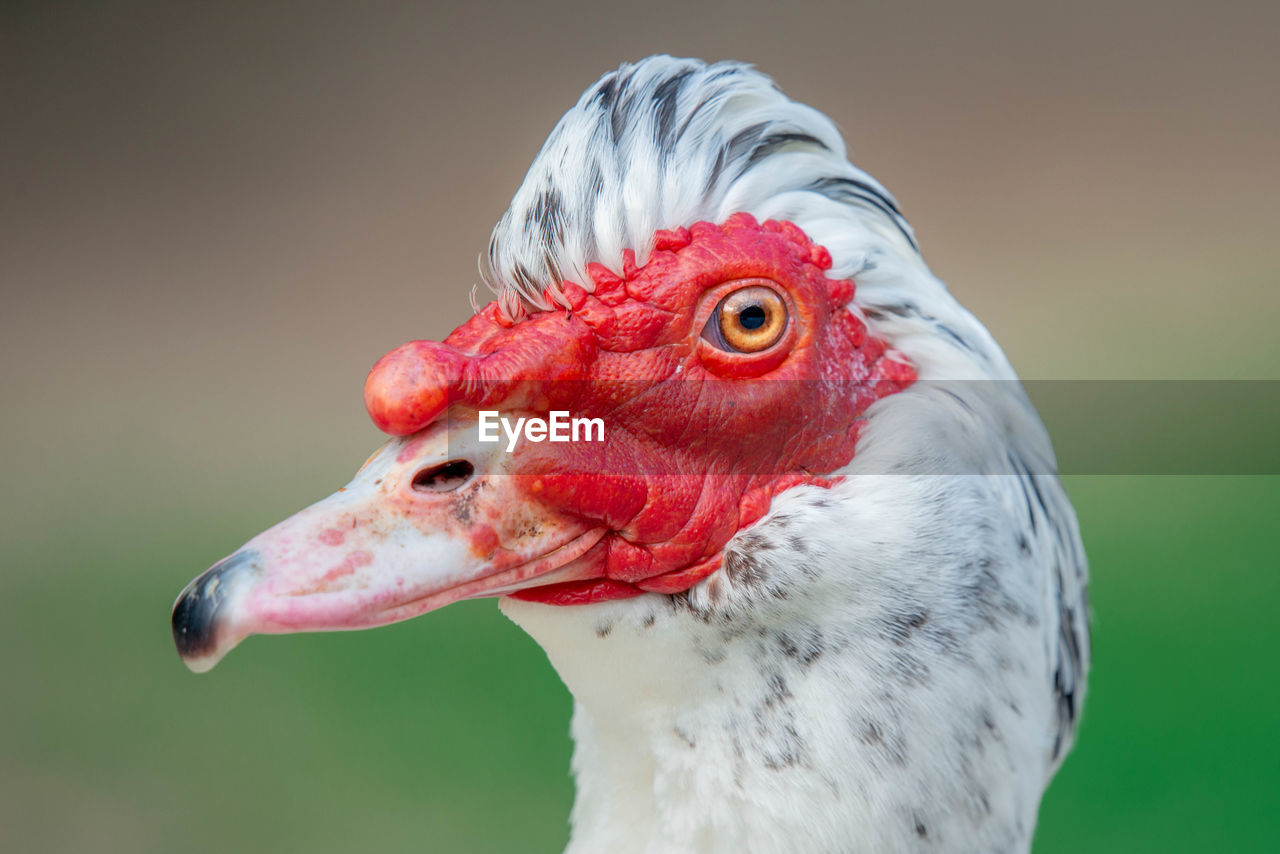 bird, animal themes, animal, vertebrate, one animal, close-up, focus on foreground, animals in the wild, red, beak, animal body part, animal wildlife, animal head, no people, muscovy duck, duck, day, nature, poultry, white color, animal eye, animal neck
