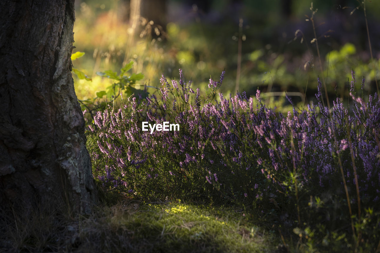 plant, flower, flowering plant, growth, beauty in nature, nature, selective focus, land, no people, day, purple, tree trunk, trunk, field, vulnerability, close-up, outdoors, fragility, freshness, tranquility