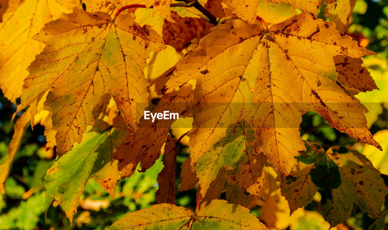 leaf, plant part, autumn, change, plant, beauty in nature, yellow, close-up, nature, day, leaves, no people, growth, maple leaf, selective focus, outdoors, tree, focus on foreground, leaf vein, tranquility, natural condition, fall