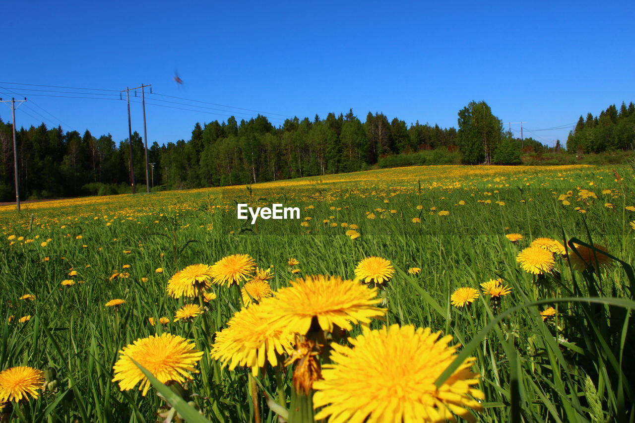 plant, flower, growth, flowering plant, field, yellow, beauty in nature, sky, land, landscape, environment, freshness, nature, tree, tranquil scene, tranquility, clear sky, scenics - nature, rural scene, day, no people, flower head, outdoors