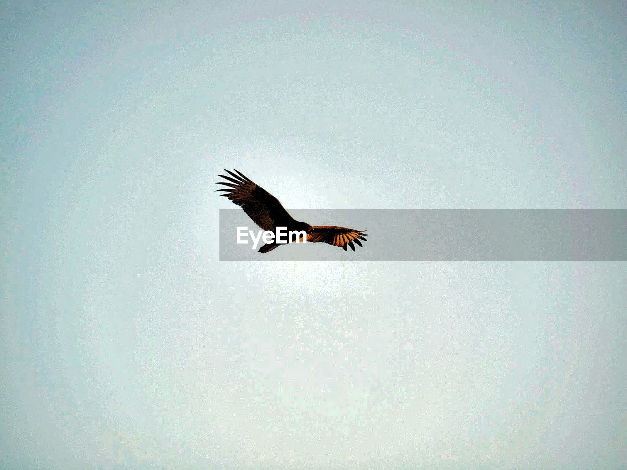 Low angle view of eagle flying in clear sky
