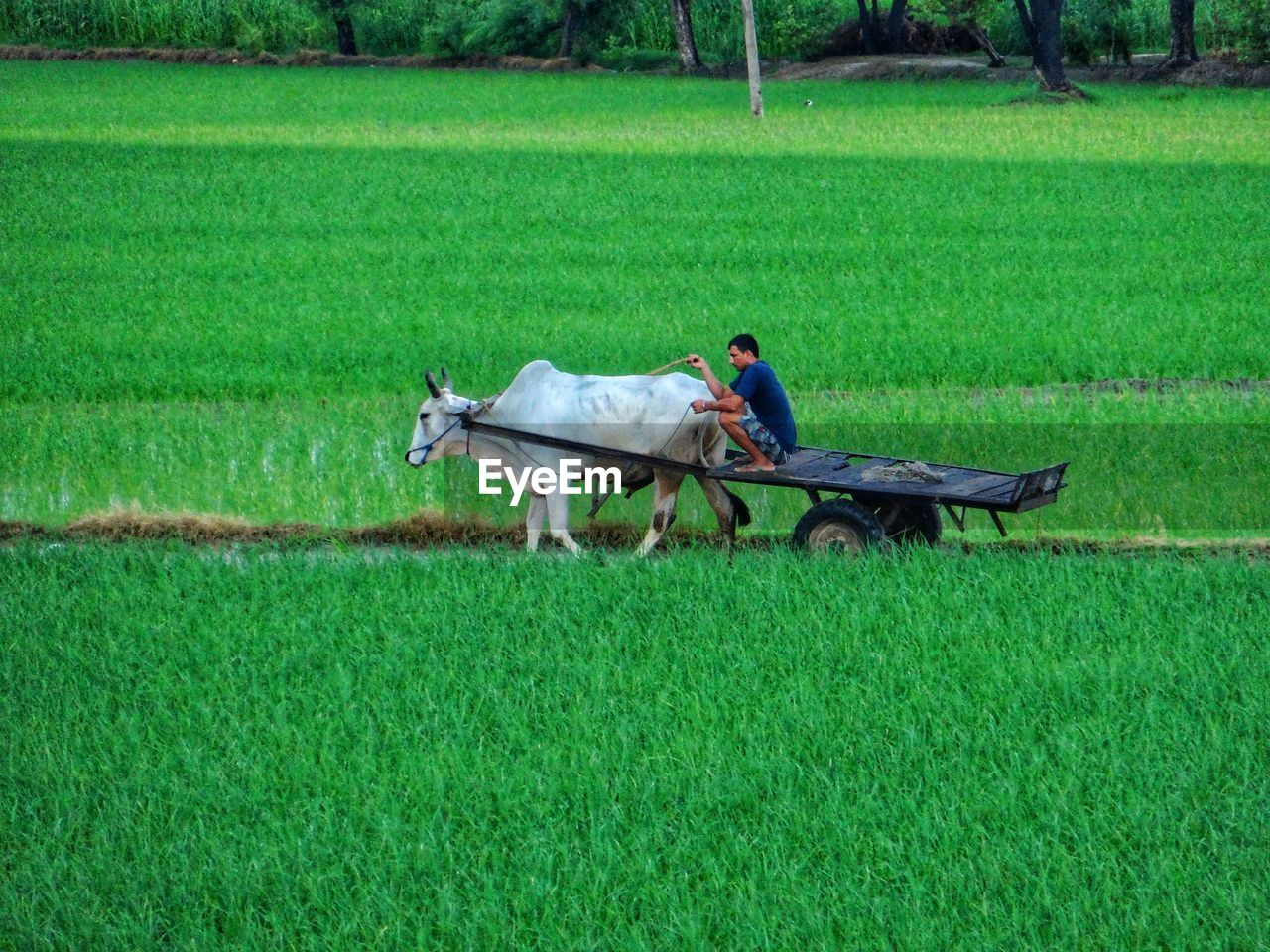 Side view of farmer on ox cart at rice paddy
