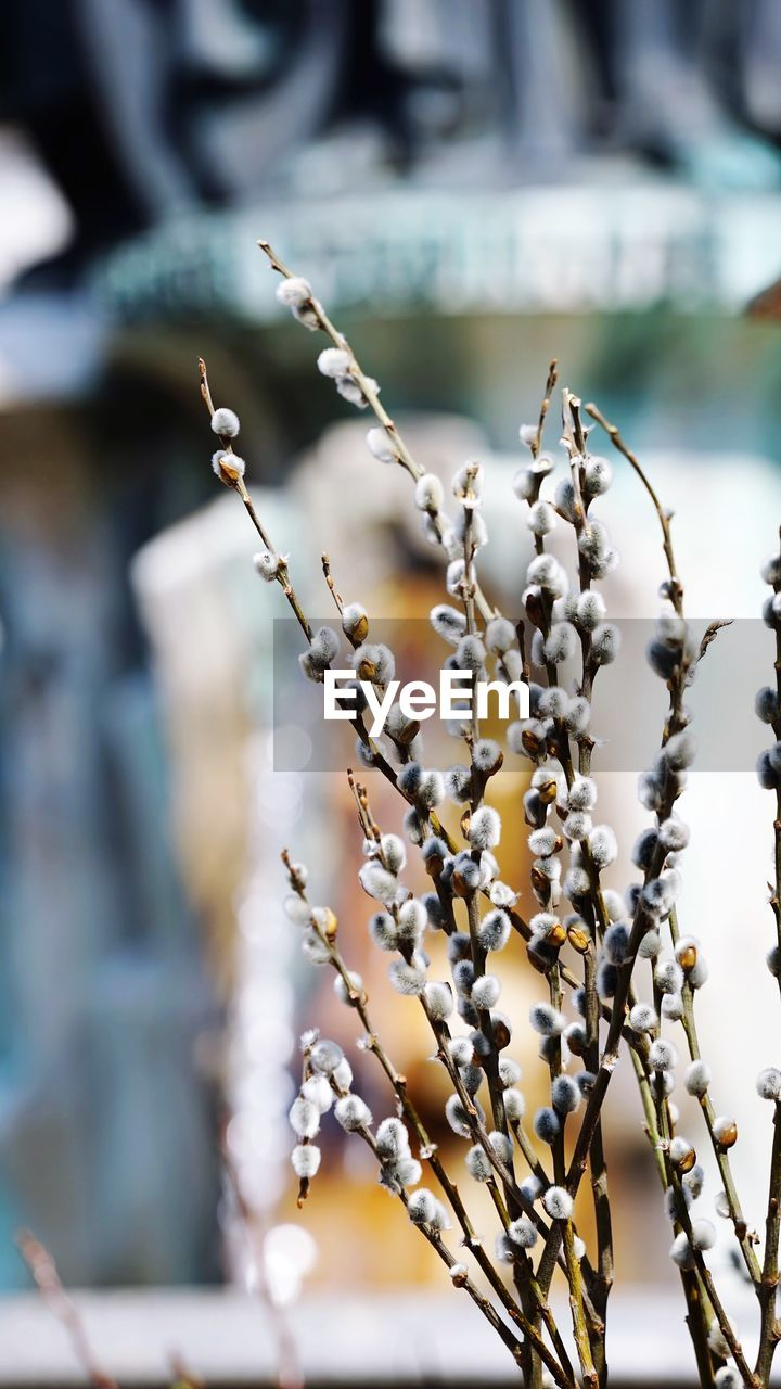 focus on foreground, plant, close-up, beauty in nature, growth, flower, day, no people, selective focus, fragility, flowering plant, nature, vulnerability, outdoors, tranquility, freshness, plant stem, pussy willow, white color, winter