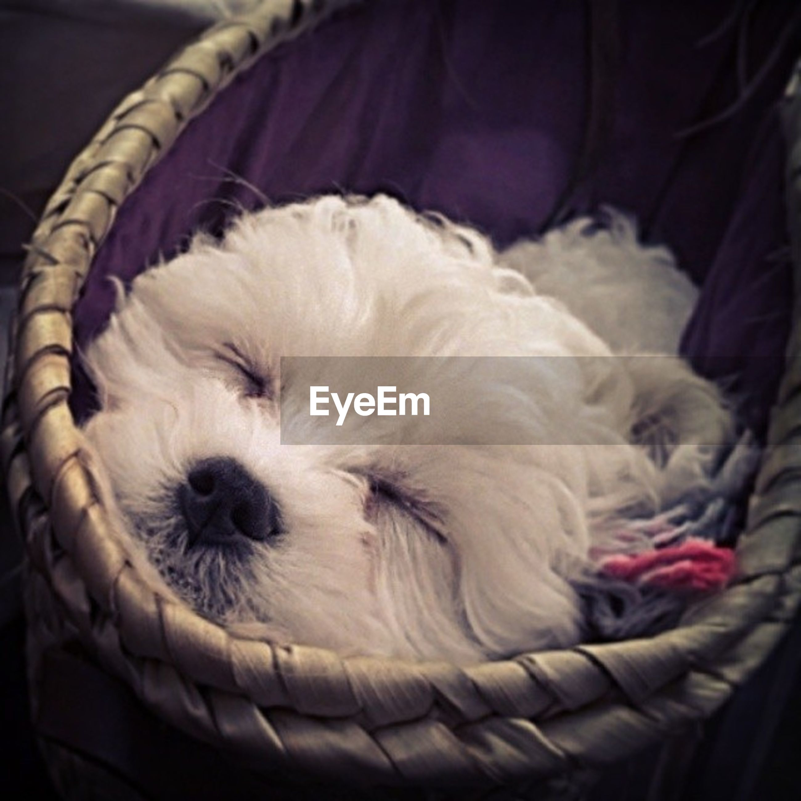 pets, domestic animals, dog, one animal, animal themes, indoors, mammal, relaxation, close-up, animal hair, sleeping, resting, lying down, white color, bed, home interior, cute, animal head, pampered pets, comfortable