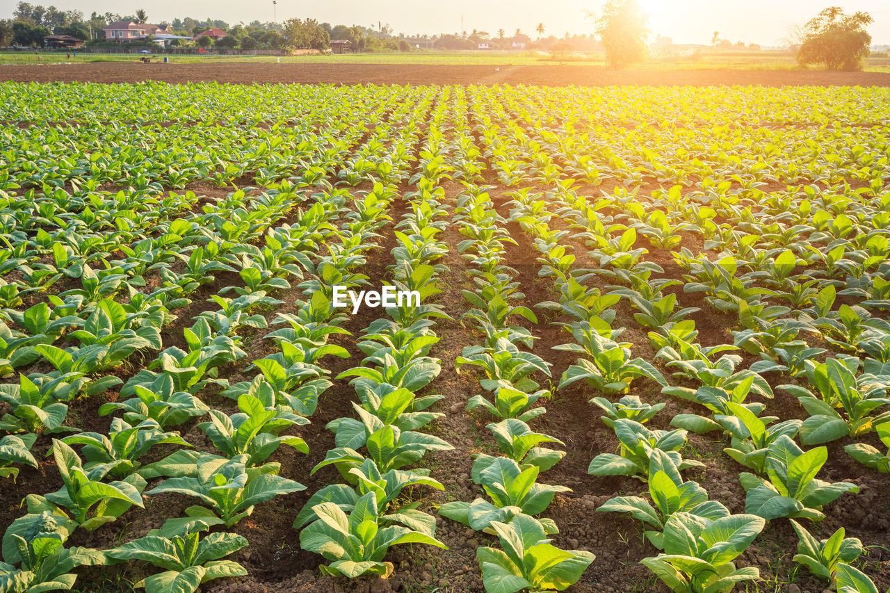 growth, agriculture, field, plant, landscape, rural scene, land, crop, farm, nature, beauty in nature, green color, sunlight, day, tranquility, environment, scenics - nature, leaf, in a row, plant part, no people, outdoors, plantation