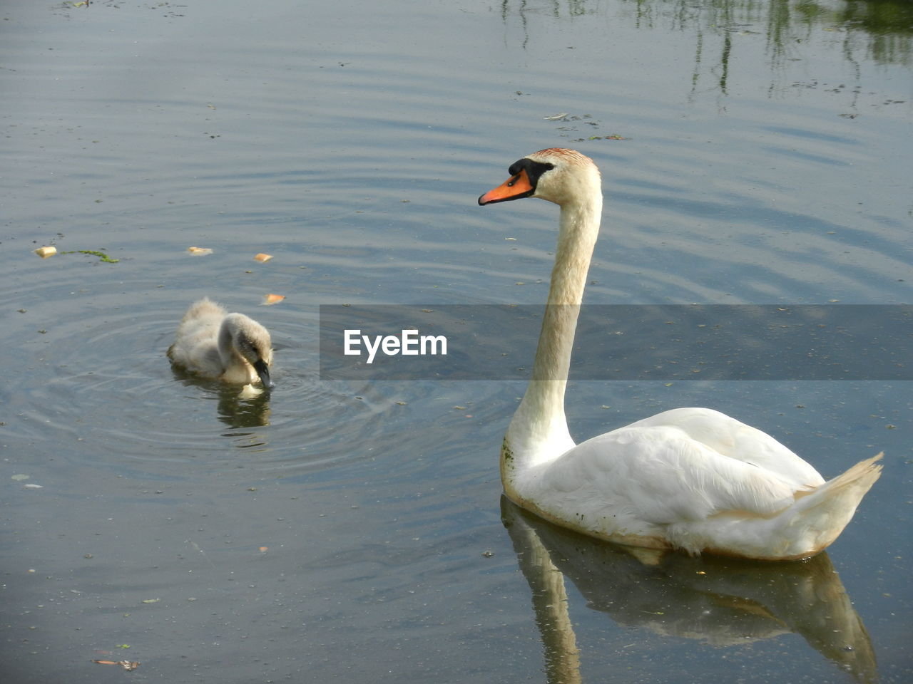 High Angle View Of Mute Swan Swimming By Cygnet On Lake