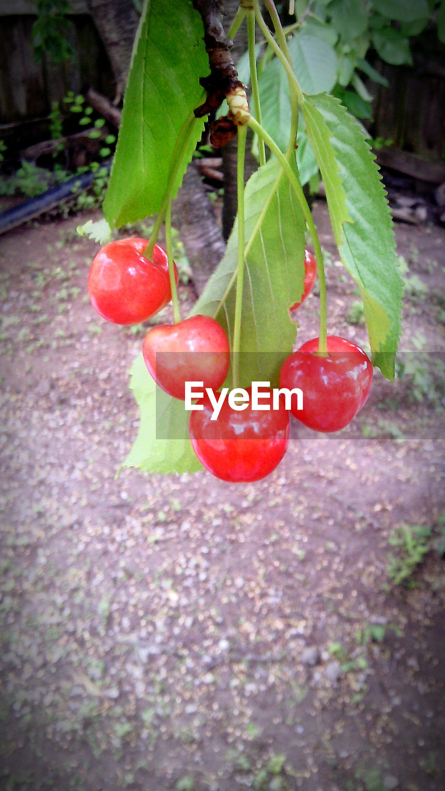 red, food and drink, freshness, fruit, healthy eating, food, leaf, growth, close-up, plant, green color, vegetable, growing, focus on foreground, tomato, ripe, no people, high angle view, day, nature