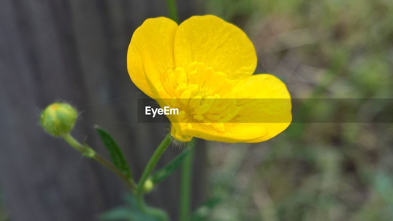 flower, flowering plant, vulnerability, fragility, beauty in nature, plant, growth, petal, yellow, inflorescence, freshness, close-up, flower head, nature, outdoors, no people, day, focus on foreground, selective focus