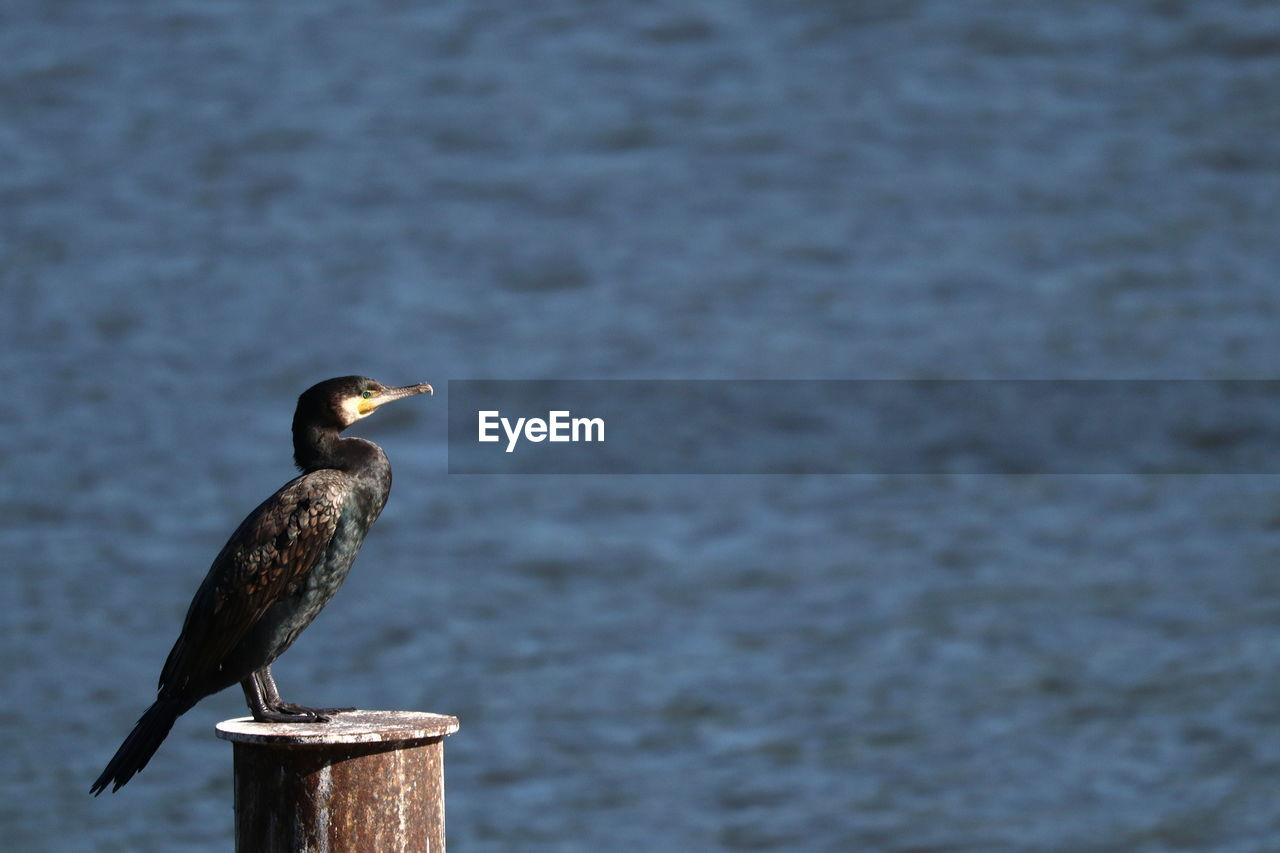 animal wildlife, bird, animals in the wild, animal, animal themes, vertebrate, one animal, perching, water, no people, post, focus on foreground, day, nature, cormorant, wood - material, lake, side view, outdoors, wooden post, beak