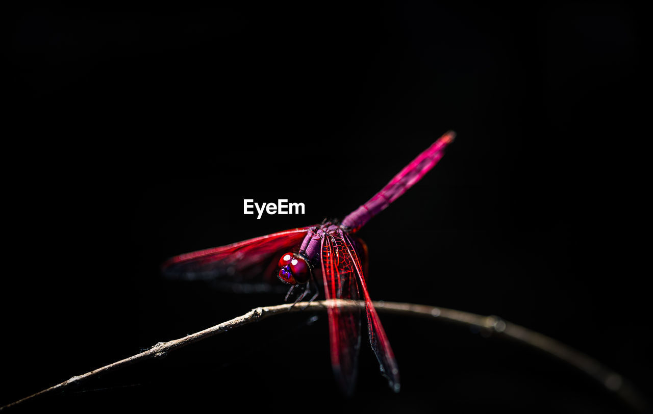 Close-Up Of Dragonfly Perching On Branch Against Black Background