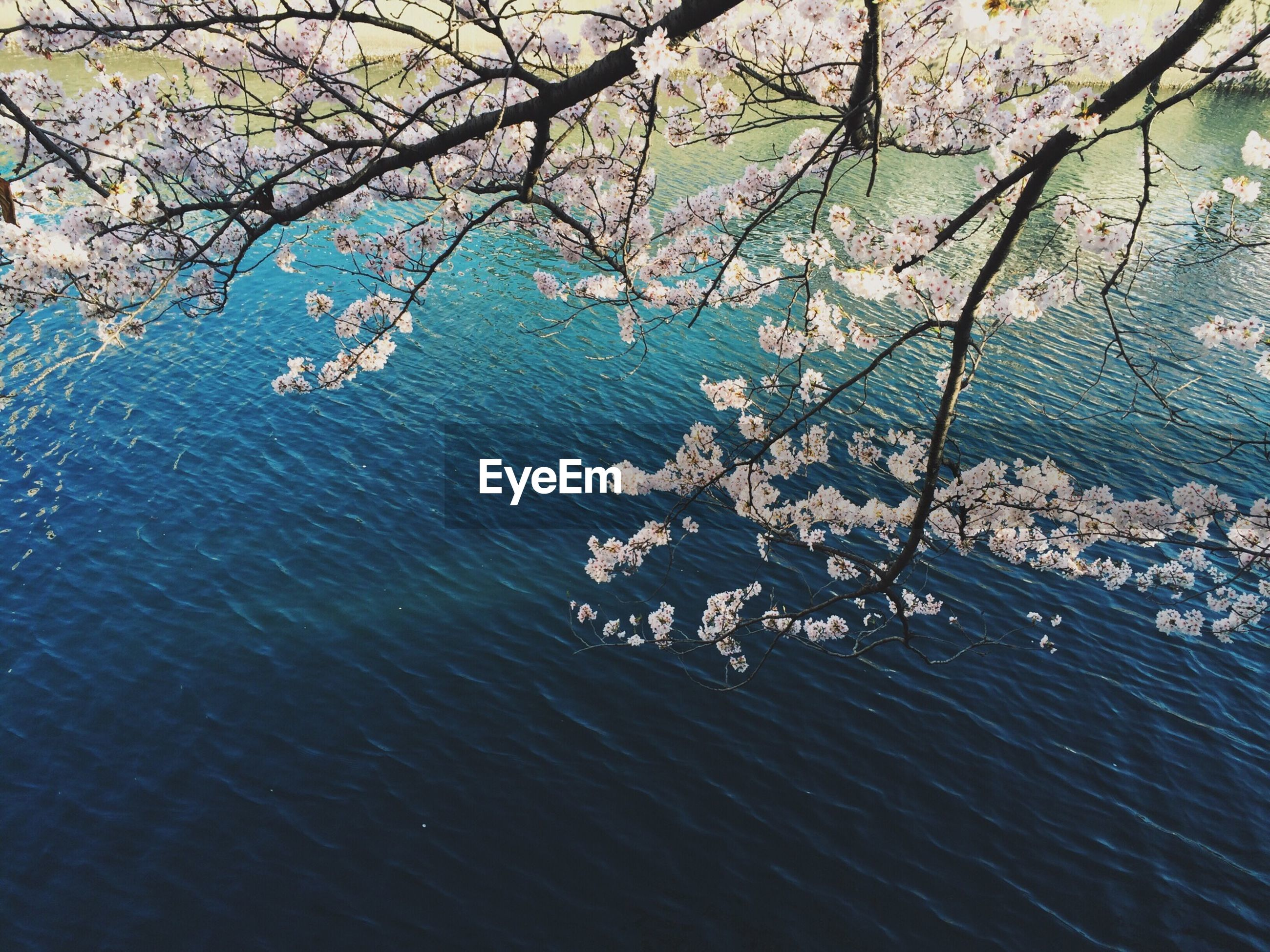 View of cherry tree and river
