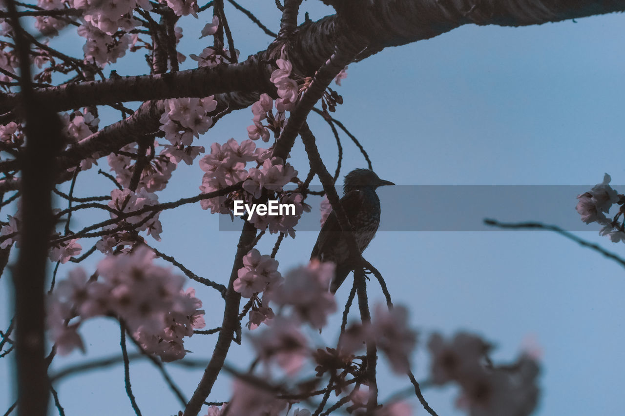 plant, tree, branch, bird, flower, flowering plant, perching, vertebrate, animals in the wild, animal wildlife, low angle view, animal themes, growth, animal, springtime, blossom, sky, nature, beauty in nature, one animal, no people, pink color, cherry blossom, outdoors, cherry tree, plum blossom