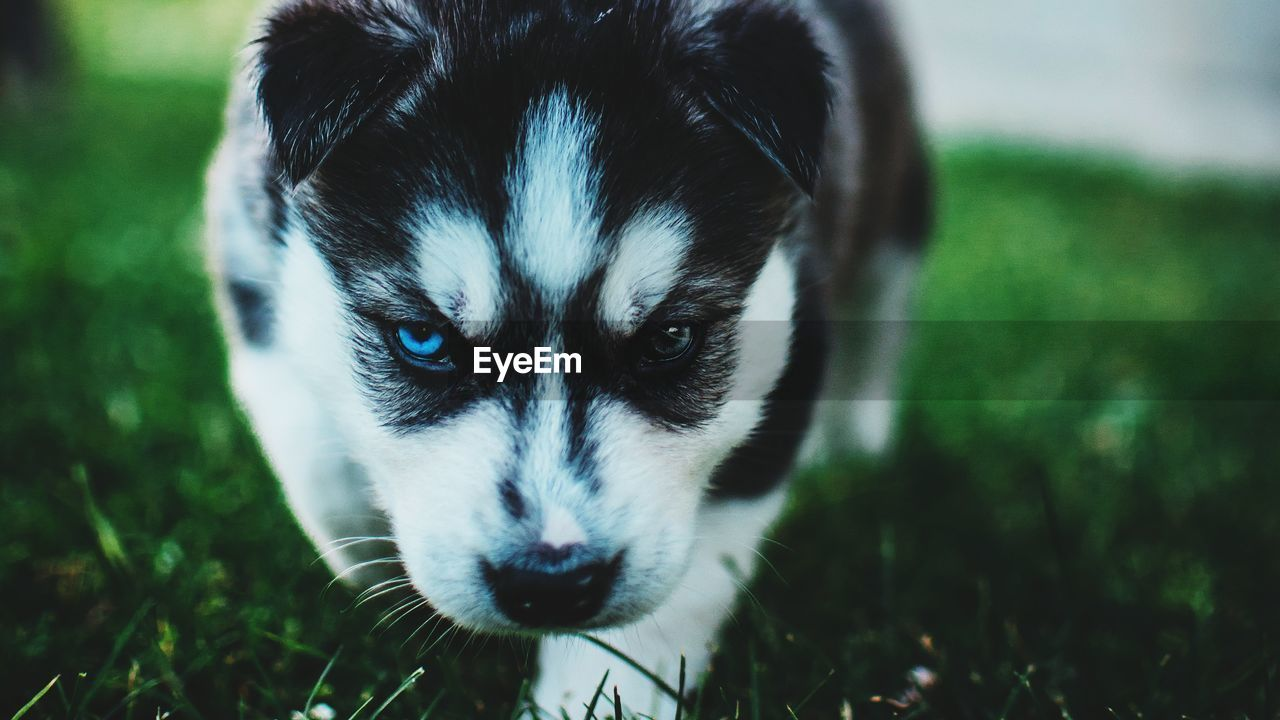 one animal, animal themes, mammal, animal, pets, domestic animals, domestic, dog, portrait, grass, canine, looking at camera, vertebrate, focus on foreground, field, plant, day, animal body part, close-up, sled dog, animal head, whisker