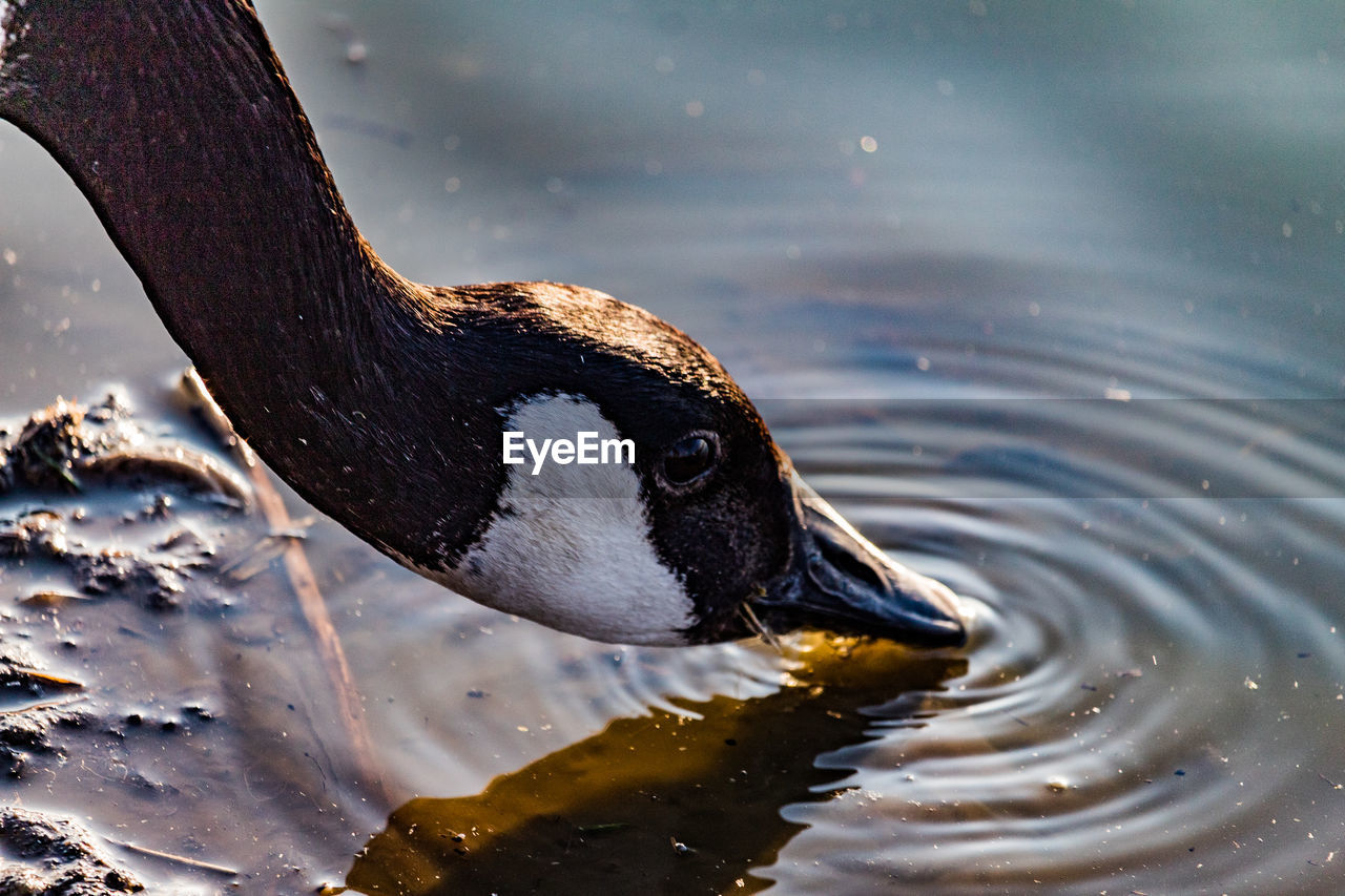 animal wildlife, animal themes, one animal, animals in the wild, animal, water, bird, lake, vertebrate, no people, nature, close-up, day, focus on foreground, swimming, beak, animal body part, high angle view, waterfront, animal head, animal neck, animal eye