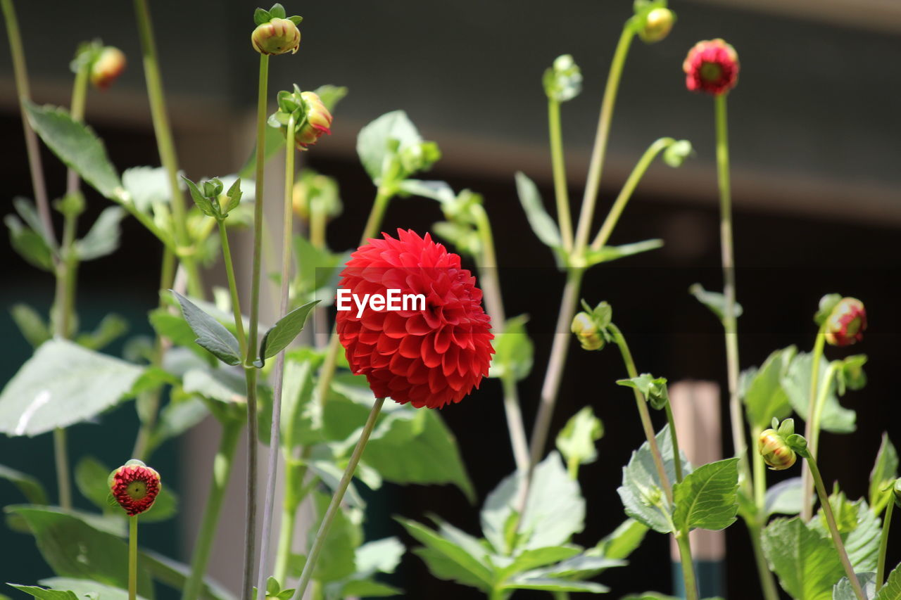 flowering plant, flower, beauty in nature, plant, growth, fragility, vulnerability, freshness, red, petal, nature, flower head, focus on foreground, close-up, inflorescence, no people, day, plant stem, selective focus, outdoors