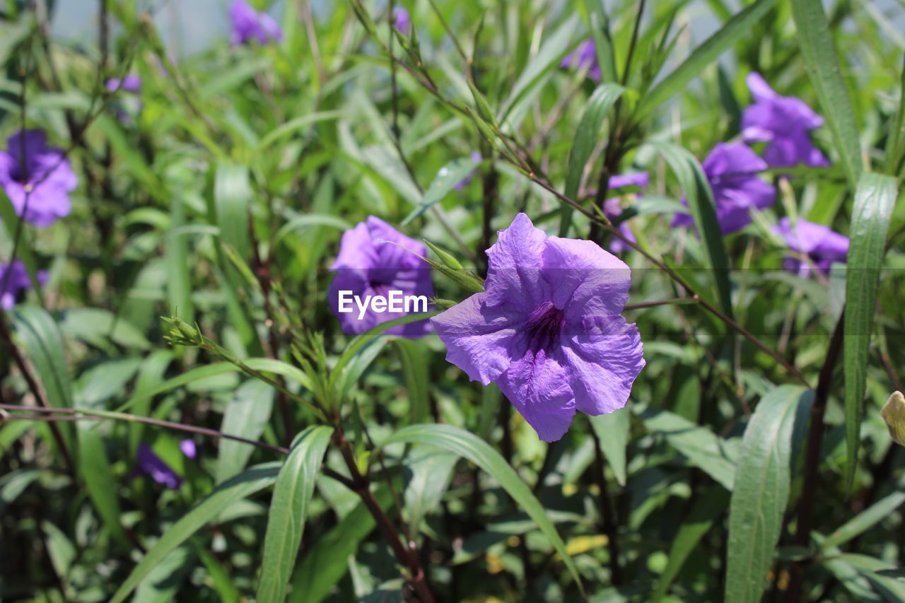 flowering plant, flower, plant, freshness, fragility, vulnerability, beauty in nature, petal, growth, purple, close-up, flower head, inflorescence, no people, nature, pink color, focus on foreground, day, outdoors, leaf