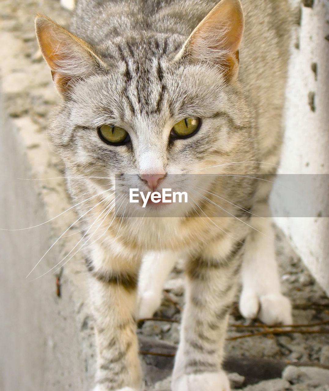 mammal, cat, pets, domestic, domestic animals, feline, one animal, domestic cat, portrait, vertebrate, looking at camera, whisker, no people, close-up, focus on foreground, day, animal body part, animal eye, tabby