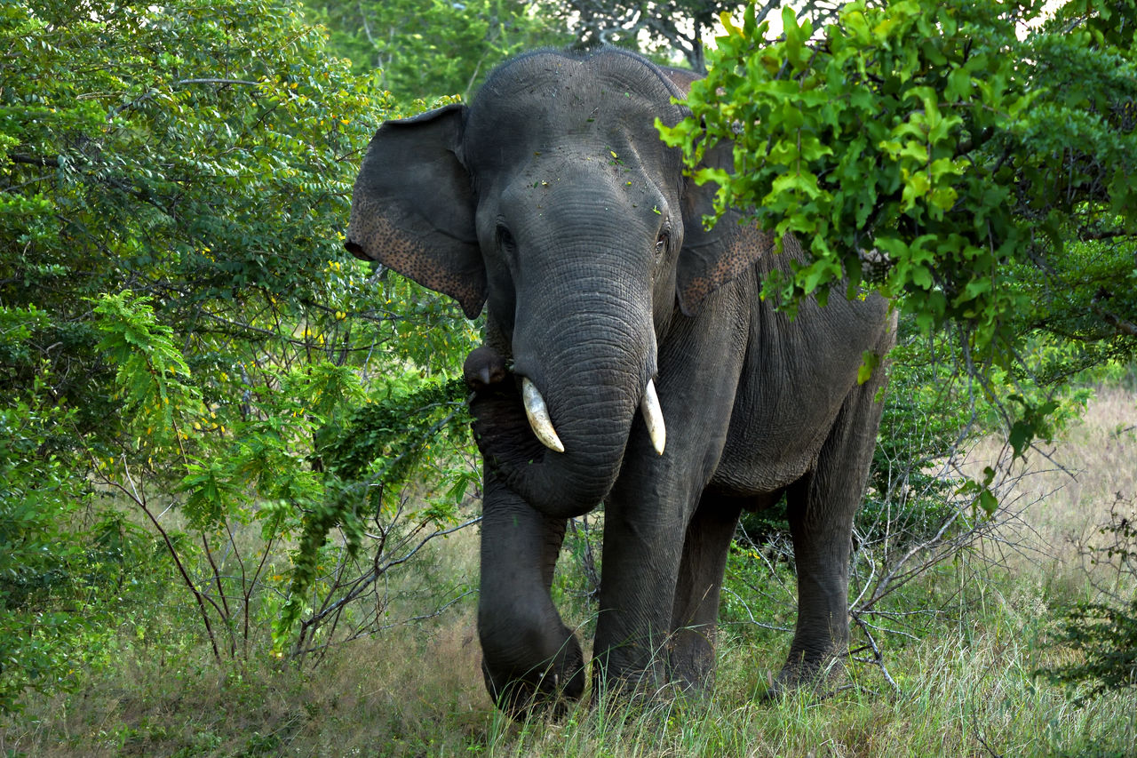 animal themes, animal, elephant, animal wildlife, mammal, animals in the wild, plant, one animal, tree, animal body part, safari, no people, forest, day, african elephant, nature, grass, environment, front view, animal trunk, outdoors, tusk, herbivorous