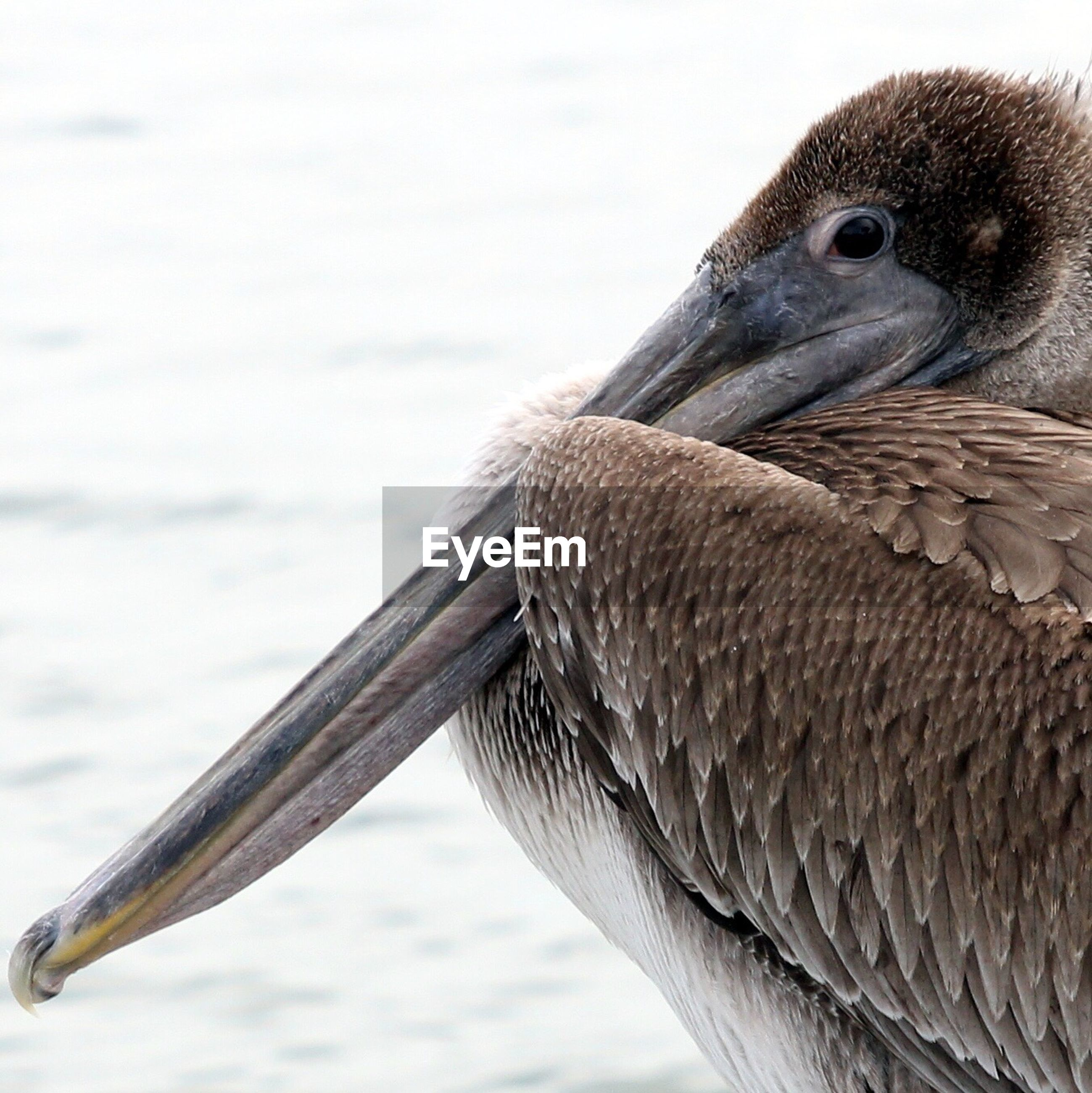 Close-up of pelican by lake