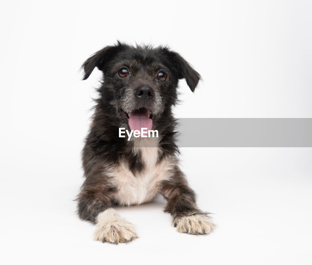 domestic, pets, one animal, mammal, domestic animals, dog, canine, animal, animal themes, portrait, looking at camera, studio shot, vertebrate, young animal, indoors, white background, sitting, puppy, no people, cute, mouth open, animal tongue, animal head, innocence
