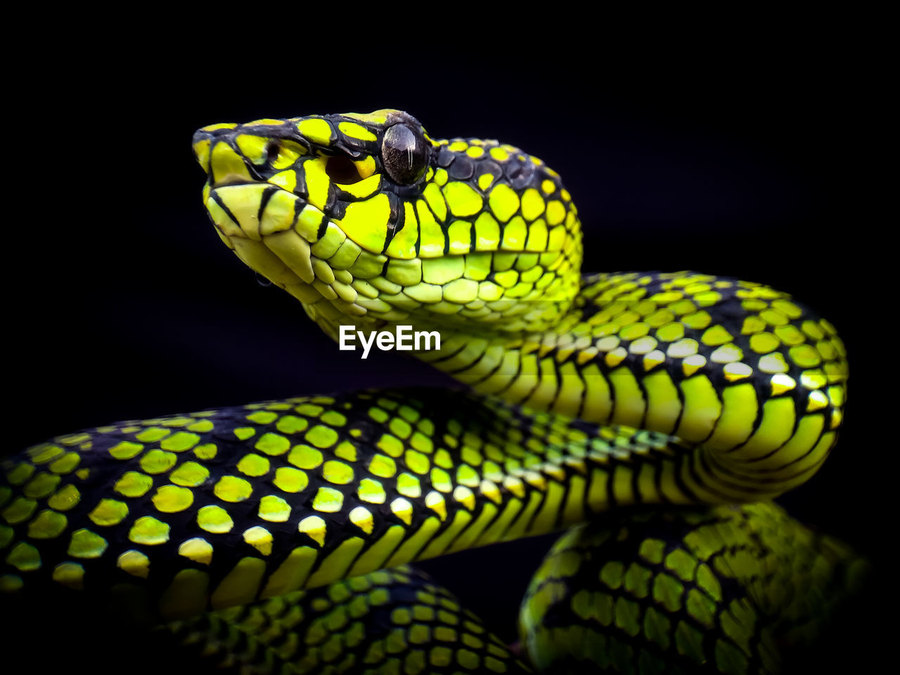 one animal, snake, animal themes, animal, reptile, animals in the wild, animal wildlife, close-up, vertebrate, green color, no people, pattern, animal body part, focus on foreground, indoors, studio shot, black background, yellow, animal head, warning sign, animal scale, poisonous, animal eye