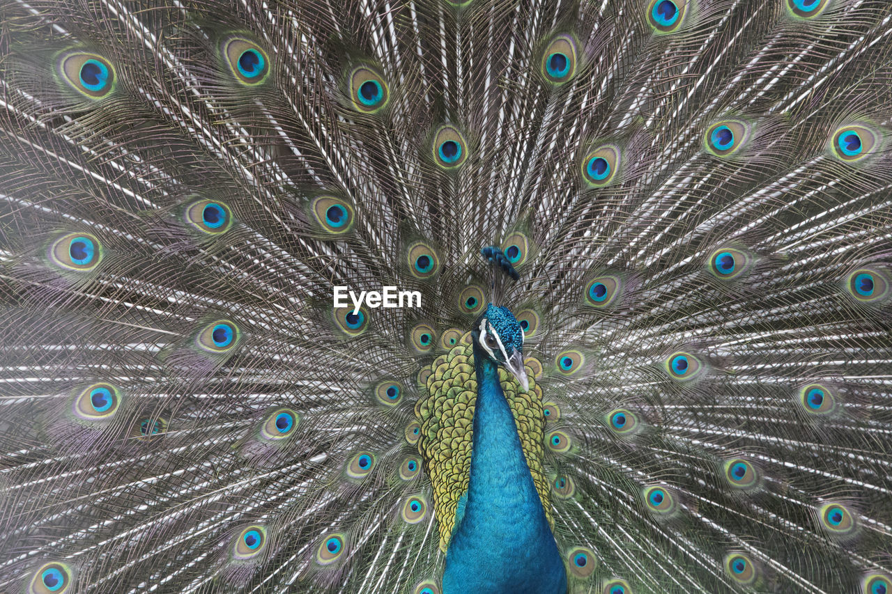 Close-Up Portrait Of Peacock